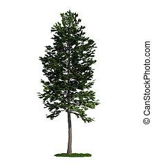Árbol aislado en blanco, Pinos escocés (Pinus Sylvestris)