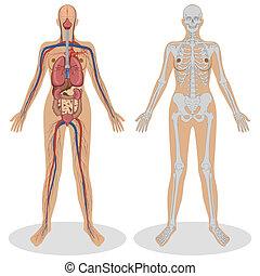 anatomía, mujer, humano