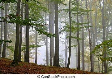 Bosque de Beech en la niebla