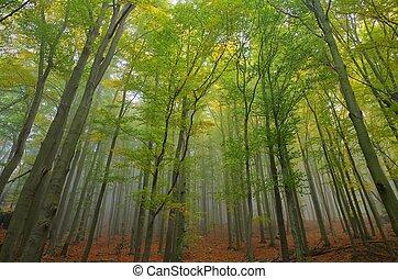 Bosque de Beech en niebla 05