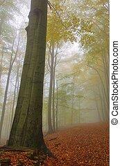 Bosque de Beech en niebla 07