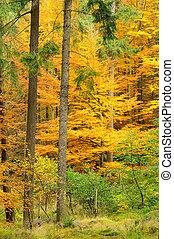 Bosque de Beech en otoño