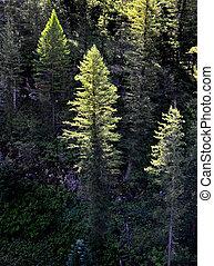 Bosque de pinos luz de la mañana