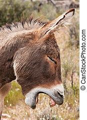Burro salvaje en el desierto de Nevada