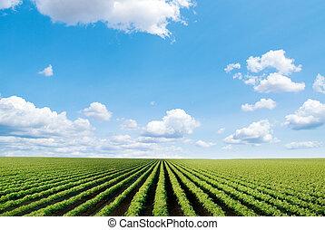 campo, cultivado