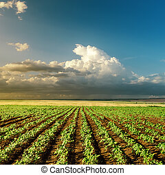 Campo verde de agricultura al atardecer