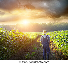 campos, ambulante, ocaso, maíz, granjero