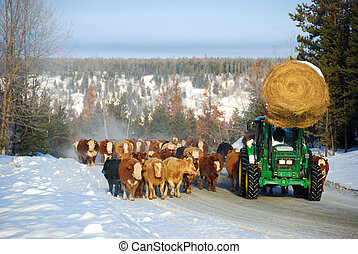Conducción de ganado