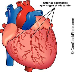 coraz?n, coronarias, humano, miocardio, arterias