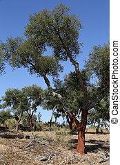 Cork Tree - 01