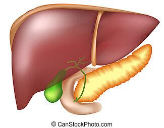 hígado, páncreas