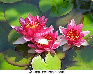 Hermosa flor de loto rojo con hojas verdes en el estanque