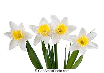 Hermoso narcissus primaveral