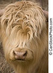 Highlander escocés