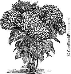 La hortensia de Bigleaf o la hortensia de la macrofila