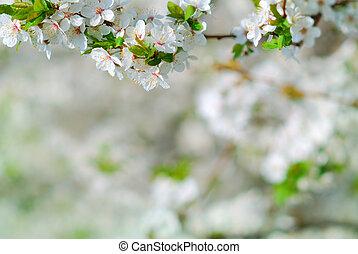 La rama de manzano en flor en primavera