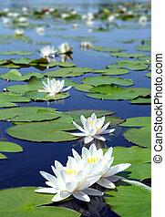 Lago de verano con flores de lirios