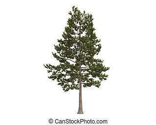 Loblolly pine o pinus taeda