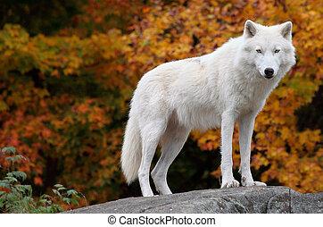 Lobo Ártico mirando la cámara en un día de otoño