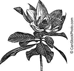 Magnolia del Sur o Magnolia Grandiflora cosechado