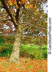 Oak Tree en otoño 01