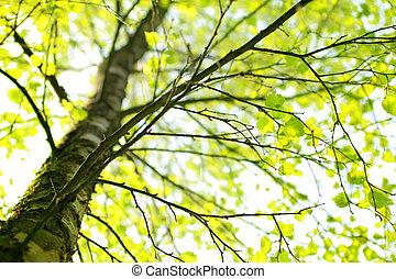 rama de abedul primavera