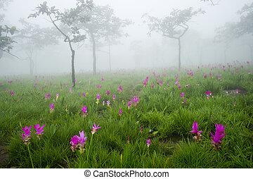 Siam tulipanes en la mañana brumosa