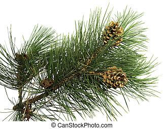Una rama de pino con cono