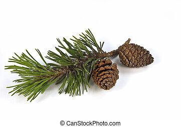Una rama de pino y conos