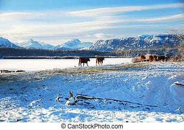 Vacas en invierno