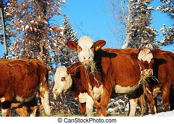Vacas hambrientas